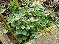 Salix reticulata - Flickr - peganum (1).jpg