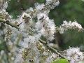 Salix tetrasperma - Indian Willow at Bavali (8).jpg