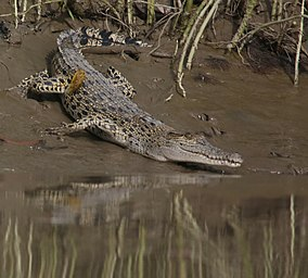 Saltwater Crocodile 02 (Crocodylus porosus) at Mein-ma-hla Kyun Wildlife Sanctuary.jpg