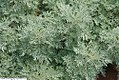 Salvia greggii Rosea 1zz.jpg