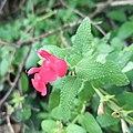 Salvia microphylla (Lamiaceae).jpg
