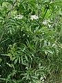 Sambucus ebulus Kiev1.JPG
