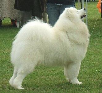 Samoyed dog - Image: Samoyed sweetjedysamoyeds