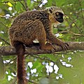 Sanford's brown lemur (Eulemur sanfordi) male.jpg