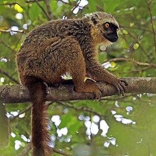 Sanfords brown lemur Species of lemur