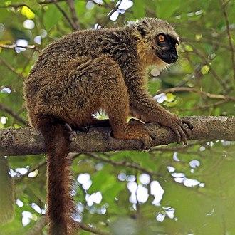 Sanford's brown lemur - Image: Sanford's brown lemur (Eulemur sanfordi) male