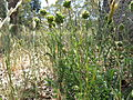Sanguisorba minor plant10 QNR (15876022016).jpg