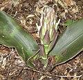 Sansevieria kirkii - inflorescence bud (5648839714).jpg
