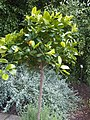 Sapindales - Citrus sinensis - 9.jpg