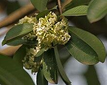 220px-Saptaparni_%28Alstonia_scholaris%29_leaves_%26_flowers_in_Kolkata_W_IMG_0534.jpg