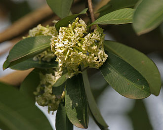 Alstonia scholaris -  Leaves and flowers in Kolkata, West Bengal, India