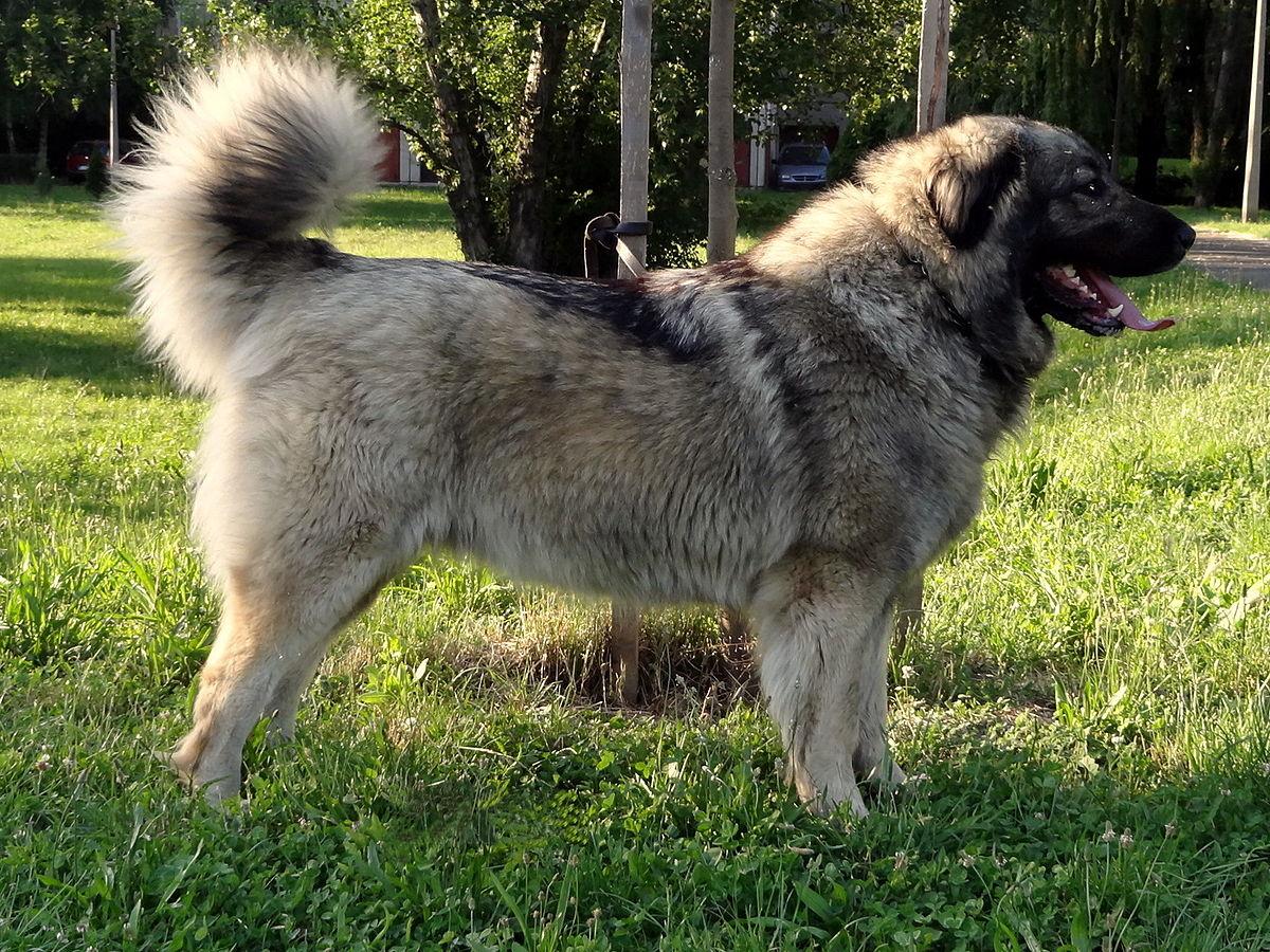 Large White Dog Breeds Long Hair