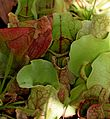 Sarracenia purpurea in Jardin des Plantes de Toulouse.jpg