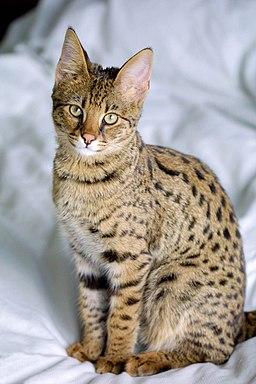 Savannah Katzen – afrikanische Schönheiten
