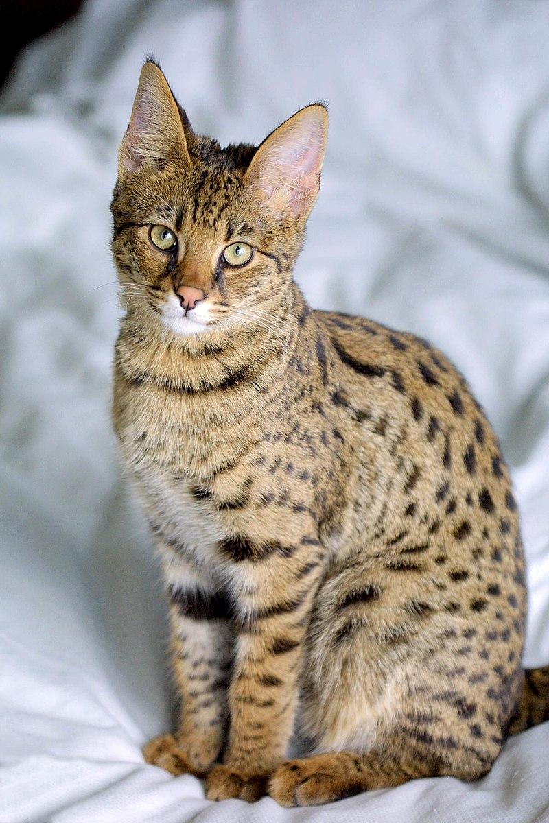 一隻四個月大的薩凡納貓。