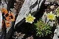 Saxifraga sp. - panoramio (1).jpg