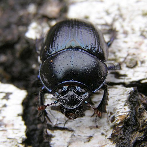 Scarab beetle on silver birch timber, Hollands Wood, New Forest - geograph.org.uk - 265868