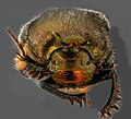 Scarabaeidae, U, face, west virginia 2013-01-31-14.11.09 ZS PMax (8466515156).jpg