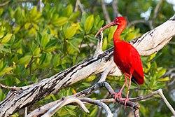 Un ibis rouge, au Venezuela