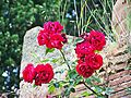 Scarperia-Roses on a wall.jpg
