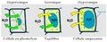 Schéma pression osmotique cellule végétale.png