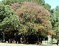 Schotia brachypetala, lente, a, Pretoria.jpg