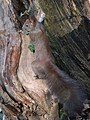 Sciurus vulgaris (12889275185).jpg