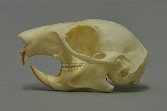 Red squirrel - Skull of a red suqirrel