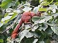 Sciurus vulgaris 09.JPG