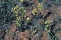 Sclerocactus parviflorus ssp terrae-canyonae fh 69 42 UT.jpg