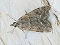 Scoparia subfusca (40137633914).jpg