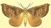 Kona Giant Looper Moth