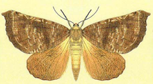 Scotorythra megalophylla-Fauna Hawaiiensis1899 flipped.png