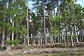 Scots Pines - geograph.org.uk - 236709.jpg
