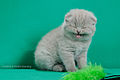 Scottish fold- straight 13.JPG