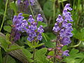 Scutellaria タツナミソウ やしろの森公園DSCF8688.JPG