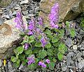 Scutellaria indica parviflora 4.JPG