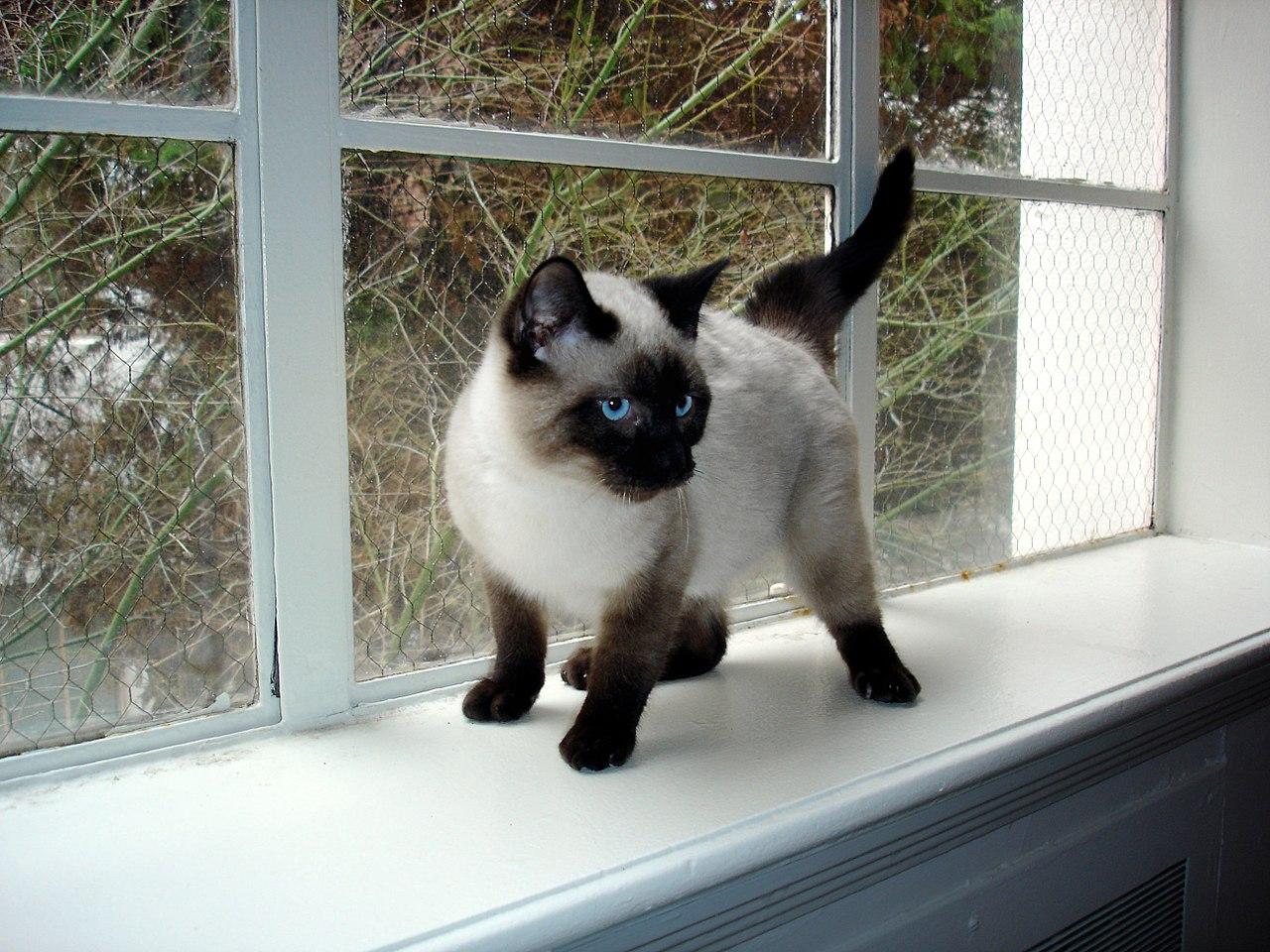 File:Seal Point Siamese Kitten.JPG - Wikimedia Commons
