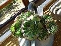 Sempervivum calcareum (Crassulaceae).JPG