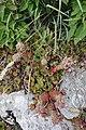 Sempervivum tectorum, familija Crassulaceae 08.jpg