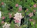 Seseli hippomarathrum (19908563388).jpg