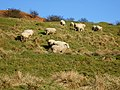 Sheep Grazing - geograph.org.uk - 362633.jpg