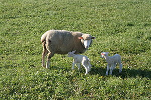 English: Sheep and lambs in Switzerland.