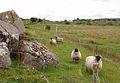 Sheep grazing on marginal land near Levallinree - geograph.org.uk - 487384.jpg