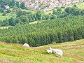 Sheep on a slope - geograph.org.uk - 880107.jpg
