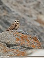 Short-eared Owl (Asio flammeus) (49263856848).jpg