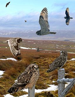 Short-eared Owl from the Crossley ID Guide Britain and Ireland