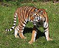 Sibirischer Tiger Panthera tigris altaica Tierpark Hellabrunn-12.jpg