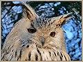 Sibirischer Uhu (26575541398).jpg