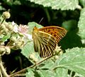 Silver-washed Fritillary. Argynnis paphia - Flickr - gailhampshire (1).jpg